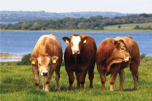 Cattle-with-water-in-the-background-2