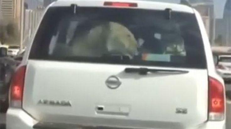 ทำไปได้!  Nissan Armada ในดูไบ บรรทุกผู้โดยสาร คือ สิงโต