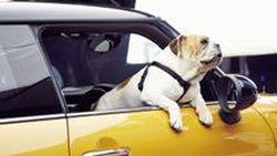 MINI ปล่อยภาพทีเซอร์ 2014 Cooper ใช้น้องหมาอิงลิช บูลด็อก ถ่ายโฆษณา