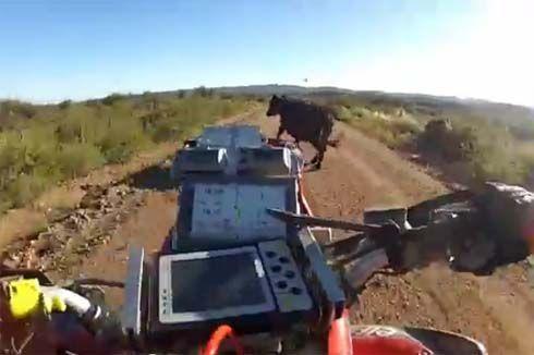 ใครแพ้ใครชนะ! เมื่อ Lucas Bonetto นักแข่ง ATV ต้องมาปะทะจังๆกับวัวที่ไม่ได้รับเชิญ