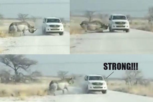 สตรอง!! Toyota Hilux โดนแรดพุ่งชนในอุทยานแห่งชาติอย่างจังแต่ยังไปต่อสบาย